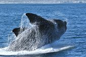 foto of lice  - The head of a Southern Right whale showing callosities - JPG