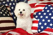 Bichon Frise Dog with American Flag. A purebred Bichon Frise female dog smiles as she poses with an  poster