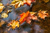 Maple Leaf In Water, Floating Autumn Maple Leaf poster