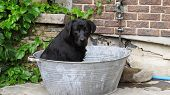 A Black Labrador Dog Sitting In A Metal Bath Tub Bucket With Tennis Ball Ready And Challenging To Pl poster