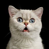 Funny Portrait Of Surprised British Breed Cat White Color With Blue Eyes, Amazement Stare In Camera  poster