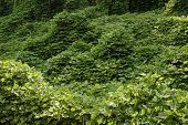 pic of kudzu  - Kudzu vines the scourge of the southern United States - JPG