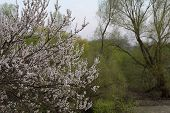 Cherry Blossoms In Spring. Cherry Blossoms On A Background Of Green Trees poster
