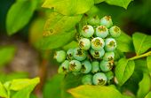 Macro Closeup Of Green Unripe Blue Berries, Blue Berry Plant, Popular Tropical Specie From America poster