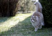 Norwegian Forest Cat Male Marking Its Territory In The Evening Light poster