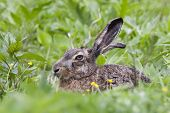 European Brown Hare Hiding In Grass. Cute Fast Coward Mammal With Long Ears. Animal In Wildlife. poster