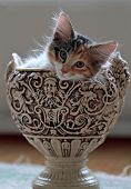 A Small Norwegian Forest Cat Kitten Indoors In A Decorative Flower Pot In Natural Light poster