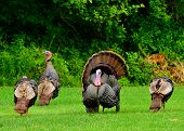 picture of gobbler  - A group of wild turkeys strutting in the spring mating season - JPG