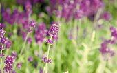 Enjoy Endless Summer. Summer Flowers. Lavenders Blossom On Summer Day. Flowering Plants Grow In Summ poster
