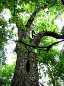 picture of pecan tree  - Large pecan tree at the Fort Worth Botanical Garden has a large opening down the middle of it