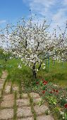 Idyllic Rural Landscape With Spring Blooming Cherry Tree With White Blossoms. Footpath And Fresh Gre poster