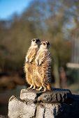 Copenhagen, Denmark - January 19, 2020: Two Meerkats In The Outdoor Area In Copenhagen Zoo poster