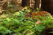 The Siberian Tiger (panthera Tigris Tigris),also Called Amur Tiger (panthera Tigris Altaica) On A Me poster