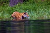 The Siberian Tiger (panthera Tigris Tigris),also Called Amur Tiger (panthera Tigris Altaica) Walking poster