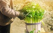 Farmer Cutting The Leaves Leek With Scissors. Harvest. Harvesting. Agriculture And Farming. Freshly  poster