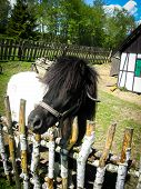 Nice Pony Stands In Surrounded By A Wooden Fence Territory poster