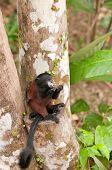 Tamarin Feeding In A Rain Forest Tree poster