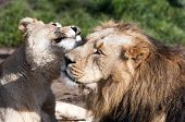 Lion and lioness pic.