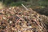picture of fire ant  - ant colony as nice natural insect background - JPG
