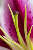 picture of stargazer-lilies  - An abstract composition of a stargazer lily - JPG