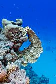 picture of fire coral  - coral reef with yellow fire coral at the bottom of red sea in egypt - JPG