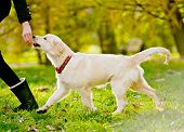 picture of golden retriever puppy  - running golden retriever puppy with the handler - JPG