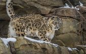 stock photo of snow-leopard  - Snow leopard in the snow covered mountains - JPG