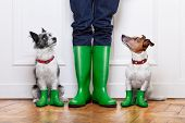 stock photo of shoe  - two terrier dogs waiting to go walkies in the rain at the front door at home - JPG