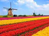 stock photo of windmills  - Vibrant tulips fields with windmills in the background - JPG