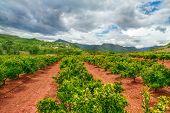 pic of valencia-orange  - Orange gardens in Valencia region - JPG