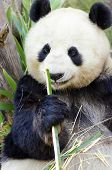 stock photo of panda  - A cute adorable lazy adult giant Panda bear eating bamboo - JPG