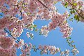 stock photo of sakura  - Beautiful flowering Japanese cherry  - JPG