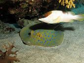 stock photo of stingray  - A blacktip grouper protecting a blue spotted stingray - JPG
