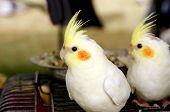 stock photo of cockatiel  - Cockatiel Are The Beautiful Smallest Birds Of Cockatoo Family - JPG