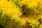 pic of lightning bugs  - Lightning Bug crawling on a yellow flower.