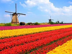 picture of windmills  - Vibrant tulips fields with windmills in the background - JPG