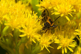stock photo of lightning bugs  - Lightning Bug crawling on a yellow flower. ** Note: Shallow depth of field - JPG