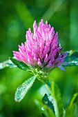 picture of red clover  - Red flower Clover flowerhead with drops on a green background - JPG