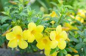pic of trumpet flower  - Beautiful yellow flower Golden trumpet vine Yellow bell  - JPG