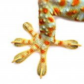 image of newt  - Macro of the foot and tail of a gecko isolated on white background - JPG