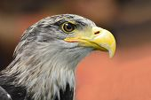 stock photo of bald head  - Bald Headed Eagle close up head shot - JPG