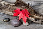 picture of driftwood  - Vibrant red maple leaves in autumn color on aged driftwood - JPG