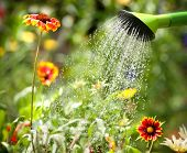 foto of spray can  - Watering flowers with a watering can - JPG