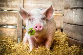 stock photo of pig-breeding  - Pig on hay and straw green shamrock in snout - JPG