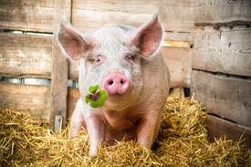 stock photo of shamrocks  - Pig on hay and straw green shamrock in snout - JPG