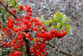 stock photo of freeze  - Branch of a bush with bright berries and green leaves after freezing rain - JPG