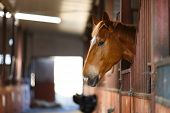 picture of stable horse  - Head of horse looking over the stable doors - JPG