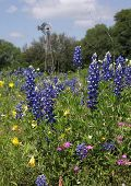 foto of bluebonnets  - Bluebonnets stand out against the other colors of wildflowers in a Texas pasture accented by a windmill in the background - JPG