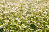 image of buckwheat  - Beautiful close up of buckwheat flowers at summer - JPG