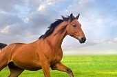 picture of stallion  - Beautiful bay stallion running against blue sky - JPG